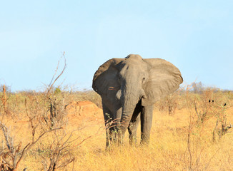 Beautiful Large Bull Elephant standing looking ahead on the dry African Savannah with a clear blue pale sky in Hwange National Park, Zimbabwe, Southern Africa