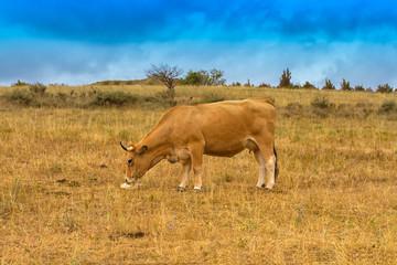 vache dans un près © ALF photo