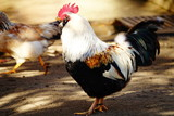 鶏 - 242258350