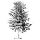 Beech Tree Vintage Illustrations - 242267140