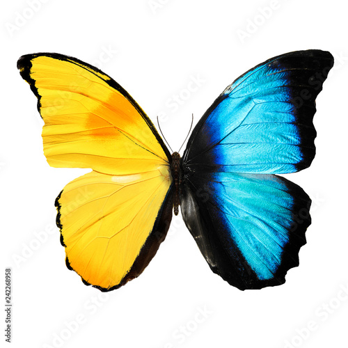 beautiful blue and yellow butterfly isolated on white background