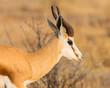 side view portrait horned springbok (antidorcas marsupialis) in savanna