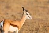 detailed view on springbok (antidorcas marsupialis) in evening sun - 242272904