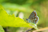 brown argus butterfly, Aricia agestis perched - 242276952