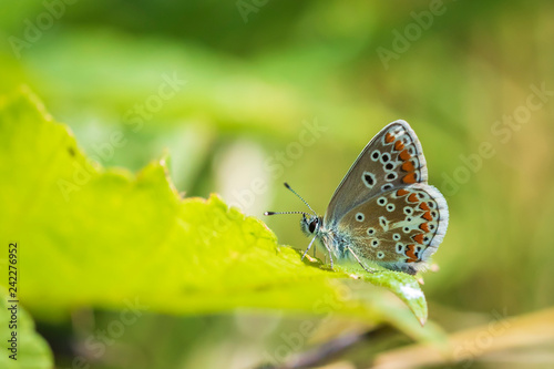 brown argus butterfly, Aricia agestis perched