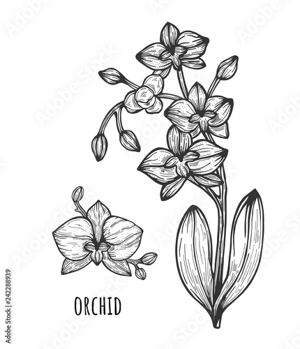 Orchid flower illustration, drawing. Eps 8