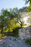 Beautiful landscape in Italy: Olive trees, stone wall and sunrise. Nobody.