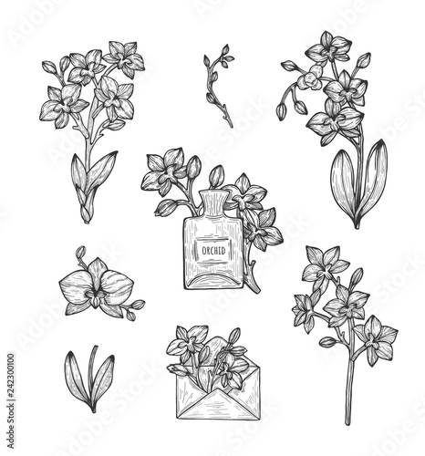 Orchid flower illustration, drawing. Eps 8 - 242300100
