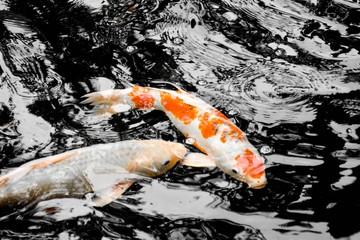 Koi carp fish swim in pond © sema_srinouljan