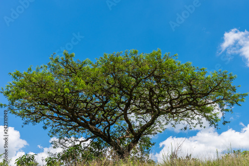 African Acacia tree against a blue sky.