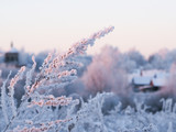 Snow-covered plants. Twilight, beautiful light. Cold, winter. - 242314725