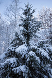 Vertical Winter Background. Beautiful pine tree covered in fresh fallen snow. - 242316108