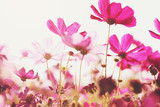 Fototapeta Kosmos - Pink cosmos flowers that are blooming in the morning sun © boonchok