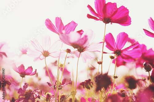 Pink cosmos flowers that are blooming in the morning sun - 242319147