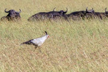 Secretary bird walking in high grass on the savannah