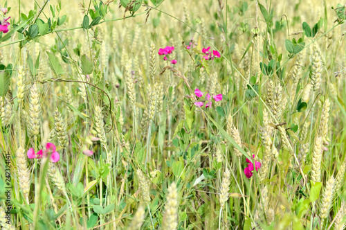 mixture of pink flowers in a wheat field