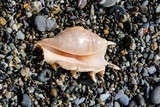 two prickly sea shells, interesting shapes on the seashore - 242328102