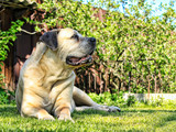 South African bulldog. Boerboel. Great dog - 242331165