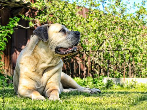 South African bulldog. Boerboel. Great dog