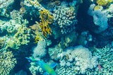 red sea coral reef with beautiful colorful fish under water - 242337788