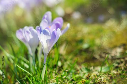 Purple crocus at sunny day