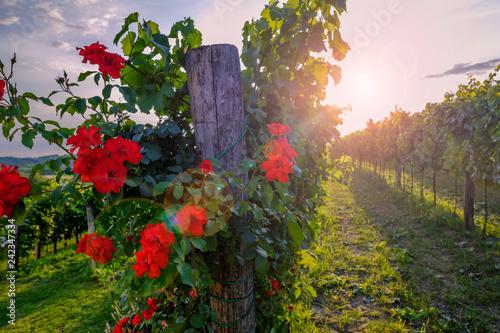 Leinwanddruck Bild Red roses and vineyard in Vipava valley, Slovenia.