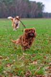 Cavalier King Charles Spaniel Dog Brown Rubi