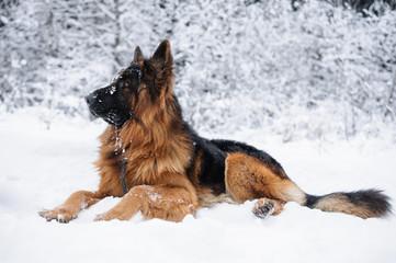 Purebred german shepherd dog lying in the snow