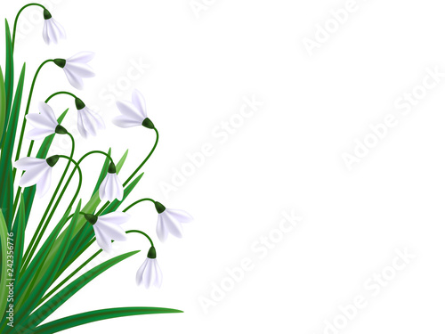 Snowdrops flowers. Galanthus vector illustration. First sign of spring, spring symbol - 242356776