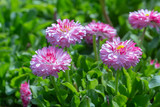spring background pink daisies on a flowerbed
