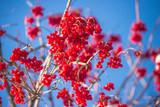 Red viburnum berries against the blue sky - 242357908