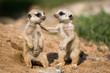 Leinwanddruck Bild - Meerkat