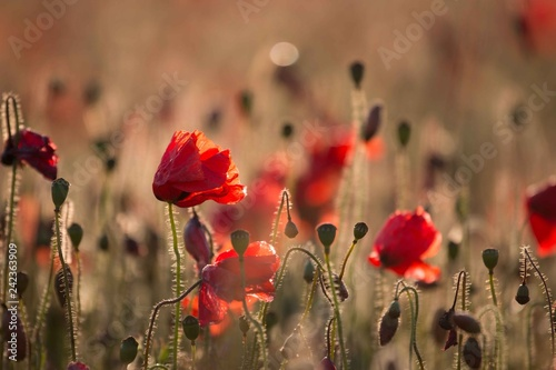 red poppies in a field - 242363909