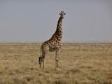 giraffe in national park Namibia africa - 242370951
