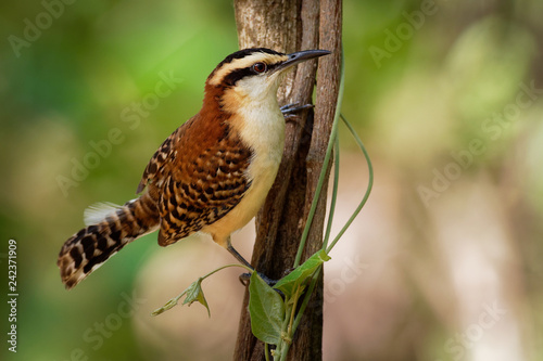 Rufous-naped Wren - Campylorhynchus rufinucha songbird of the family Troglodytidae
