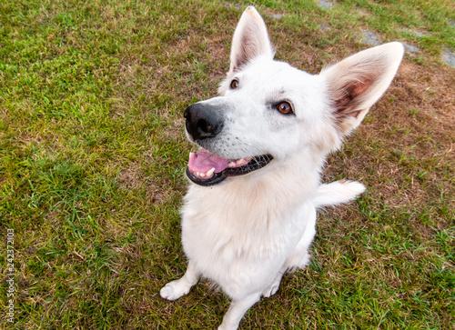 White Swiss Shepherd Dog outdoor in the field.