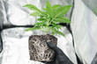 CBD in roots Marijuana. Roots In the hands of the grower. Professional cannabis cultivation grow. Beautiful roots of the marijuana plant. Macro healthy cannabis roots.