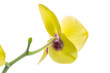 Leinwanddruck Bild - phalaenopsis yellow orchid flower isolated on white