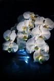 Orchid Phalaenopsis white - 242384310