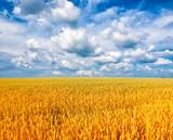 Wheat field against a blue sky - 242386105