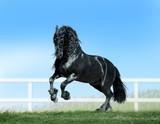 friesian horse runs free in summer paddock - 242387320