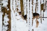 Female fallow deer dama dama in the winter forest - 242387366