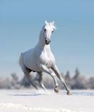 white arabian horse runs free in winter field - 242387370