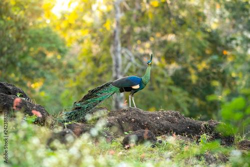 Green peafowl ,Beautiful bird