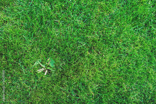 weed on lawn. Removing weeds from garden concept, green grass background - 242411918