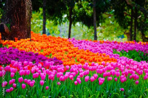 Flower garden, winter flower in Thailand, beautiful flower, straw flower. Tulip. - 242413529