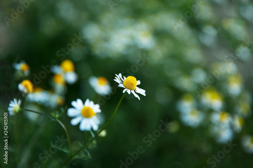 Foto Murales Camomile flowers in a field on a sunny day.