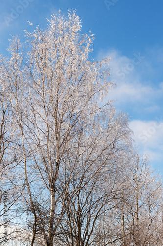 deciduous trees under snow - 242416376
