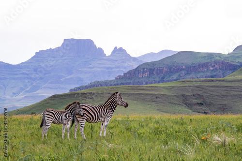 zebra in africa - 242418516