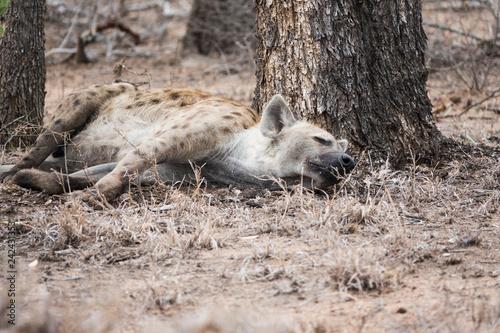 Hyène couchée dormant au pied d'un arbre.